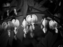 Couers Blanc by LAPoetry-n-Photo