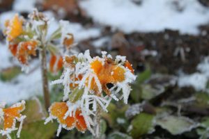 Flower in the cold by shockwave128