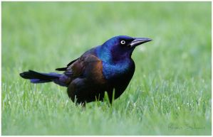 Grackle in the Grass by Ryser915