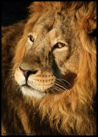 Panthera Leo Persica by amrodel