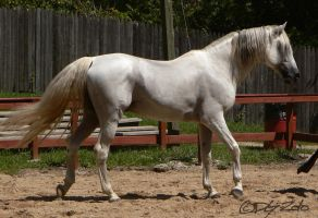 Andalusian Stallion - 43 by ElaineSeleneStock