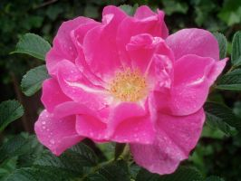 Wild Rose II by Bwabbit