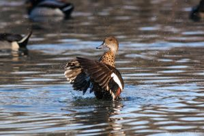 Posing duck by AndreaMetallurgico