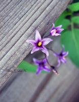 The Purle Star by ELaiNes-DarkRoom