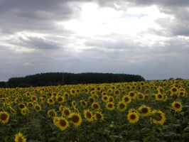 .. les tournesols. by Flore-stock