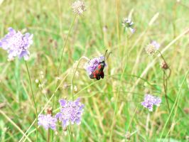 Five-spot Burnet Moth by Llesidhe