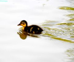 spring duckling 2 by IamNasher
