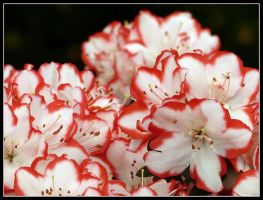 Spring red and white by kanes