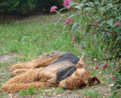 Airedale 17 by AnnLoz