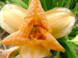 .stock: peach flower. by guavon-stock