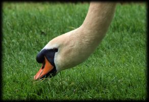 Grass eating Swan by pagan-live-style
