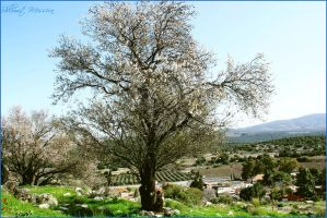 Almonds tree in Galilee by ShlomitMessica