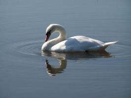 swan and reflection2 by angiak666