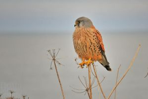 Kestrel by brijome
