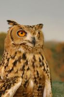 Pharaoh Eagle Owl by mydigitalmind
