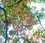 Tri-coloured leaves by amorgano