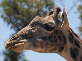 Giraffe face by photographyflower