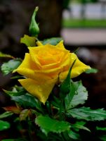 yellow rose by Bergkristalle