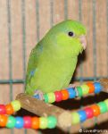 Pacific Parrotlet by Shutterbug0629
