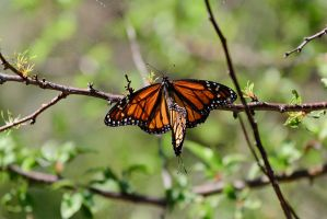 Monarch Butterfly Pair by 2753Productions