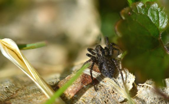 Jumping spider by Not-very-social