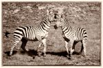 The Hurst Zebras 3 by Mac-Wiz