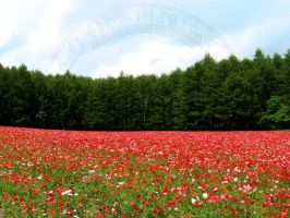 Poppies... poppies... by Nikkuman