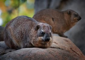 Mr. and Mrs. Hyrax by DeniseSoden