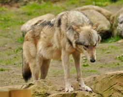 Lueneburger Heide Wolves 5 by windfuchs