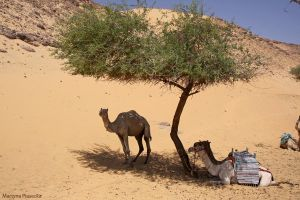 Camels by Piasecka