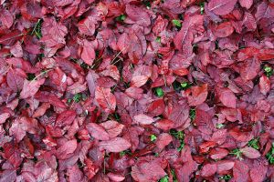 red leaves5 by Susannehs