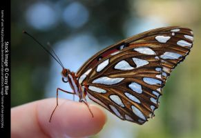Gulf Fritillary Stock 2 by Cassy-Blue