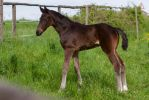 Dark Bay or Seal Brown Warmblood Foal Standing by LuDa-Stock