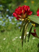 Rhododendron 01 by botanystock