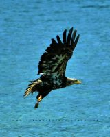 Bald Eagle Bailout by andras120