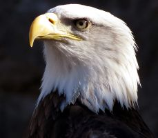 Bald Eagle Stock 3 by HOTNStock