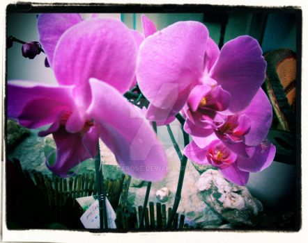 Orchids by CeraRose