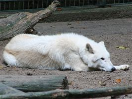Canadian Wolf I by Tribolonotus