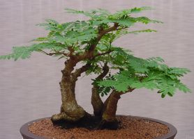 Bonzai Tree Stock by Enchantedgal-Stock