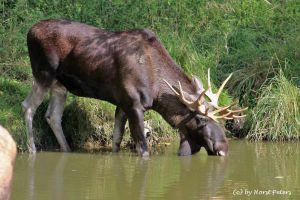 Elch / Elk / Moose 6 by bluesgrass