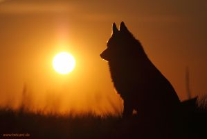 Schipperke Sunset by nele102