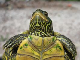 Smile, Map Turtle by riverTurtle790