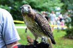 Red-Tailed Hawk by WickedOwl514