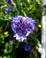 A cornflower by LiluAmber