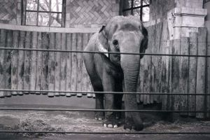 Elephant at the Zoo by Sombraluz-Images