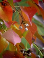 Little White Berries 11-22-10 by Tailgun2009
