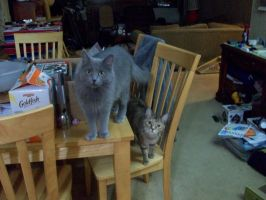 Iris is on the table and Ella is on the chair. by reretiger
