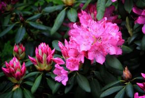 rhododendron blossoms by Tjabula