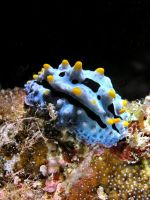 Blue Sea Slug by ShaneWdrd