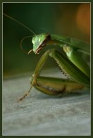 Mantis Religiosa by kmcd901